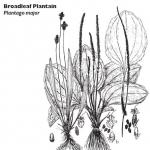 Broadleaf Plantain