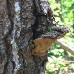 Porodaedalea pini s.l., cause of red ring rot