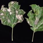 Distorted growth on London planetree (Platanus × acerifolia) as a result of powdery mildew infection.