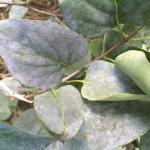 Dusty, white-colored coating of powdery mildew growth on leaves of common lilac (Syringa vulgaris).