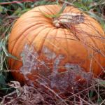 Fusarium Crown and Foot Rot of pumpkin