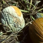 Phytophthora capsici causing fruit rot on pumpkin.