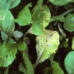 Alternaria leaf spot symptoms on radish foliage.
