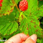 Raspberry anthracnose. Photo by M. Odneal