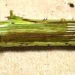 Raspberry cane blight. Photo by Lisa Jones