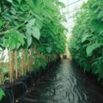 Raspberries lined out with drip irrigation in the Hamilton's greenhouse.