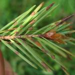Needle lesions caused by Rhabdocline on a young Douglas-fir (Pseudotsuga menziesii) growing at a Christmas tree farm.