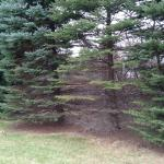 Fig. 2. Colorado blue spruce (Picea pungens) planted along a property border. Lower, interior branches are losing needles and the disease is spreading upward. The tree on the far left is a Norway spruce (P. abies), which is more resistant to the disease and shows no symptoms of infection.