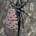 Spotted lanternfly adult at rest. Note the wings are held roof-like over the back of the insect. Photo courtesy of Gregory Hoover.