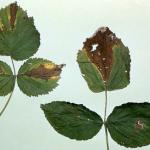 Foliar symptoms of spur blight