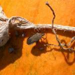 Squash bug adult and nymphs feeding on pumpkin. Photo: Ruth Hazzard, Univ. of Massachusetts