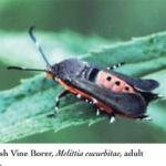 Squash vine borer adult moth.