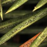 Stigmina lautii sporulating from infected spruce needles.
