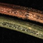 Rizosphaera sporulating from a brown needle (top) and Stigmina lautii sporulating from a green needle (bottom). These two needles were adjacent to each other on the stem of a blue spruce (Picea pungens).