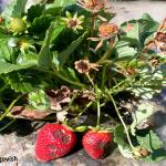 Strawberry plant showing symptoms of anthracnose