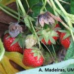 Botrytis gray mold on strawberry