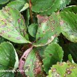 Leaf spot caused by Mycosphaerella fragariae