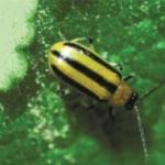 Cucumber Beetle, Striped