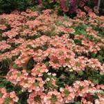 Verbena hybrid 'Royale Peachy Keen', heat and drought tolerant
