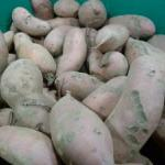 Sweet Potatoes in winter storage