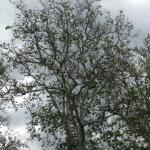 Fig. 1: A mature American sycamore (Platanus occidentalis) struggling to leaf out due to sycamore anthracnose. Photo take in early June.