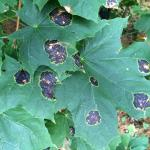 Fig. 1: Tar spot of Norway maple (Acer platanoides) caused by Rhytisma acerinum.