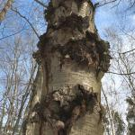 Numerous target cankers on the trunk of a black birch (Betula lenta).