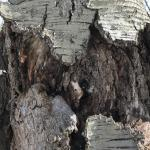 Target cankers can have a rough appearance with cracked and splitting bark.