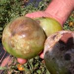 Buckeye Rot on green tomato fruit