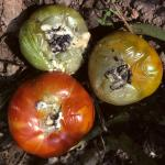White mold mycelia and sclerotia on tomato fruit.