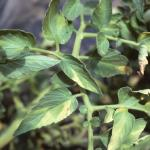 Symptoms of Verticillium Wilt on tomato foliage.