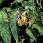 Bacterial leaf spot on tomato foliage. Photo: R. L. Wick