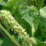 Tarnished plant bug on Amaranth