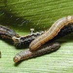 Common armyworm, or true armyworm. Photo: M. Spellman