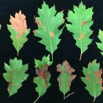 Fig. 1: Initial symptoms of Tubakia leaf blotch on a red oak (Quercus rubra) display large, circular leaf spots and marginal blight.
