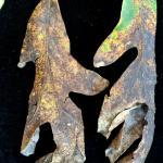 Late season symptoms of Tubakia leaf blotch on a white oak (Quercus alba) show a complete blight of the foliage.