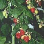 Tulameen raspberries grown in Cornell University greenhouses. Photo courtesy of Dr. Marvin Pritts.