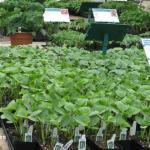 Vegetable bedding plants for retail sale