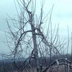 Controlling Growth of Apple Trees