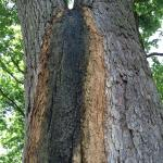 Bacterial wetwood streaming down the trunk of an American elm (Ulmus americana)
