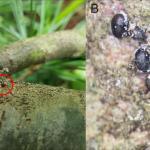 White pine bast scale (Matsucoccus macrocicatrices) (A: Tawny Simisky; B: Thomas Whitney)