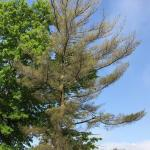 Declining mature eastern white pine (Pinus strobus) in a landscape setting