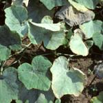 Powdery mildew symptoms on winter squash foliage.