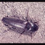 Wireworms, Melantus spp., adult also known as click beetle