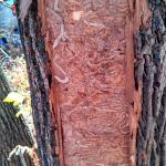 Galleries underneath ash bark in a heavily infested tree found in 2015 in Worcester, MA. (Photo: Tawny Simisky)
