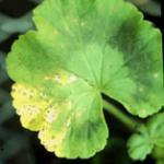 Leafspot Phase of Bacterial Blight of Geranium