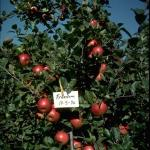 Freedom apples