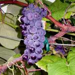 Mars Grapes
