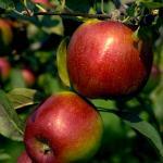Prima apples