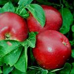 Redfree apples